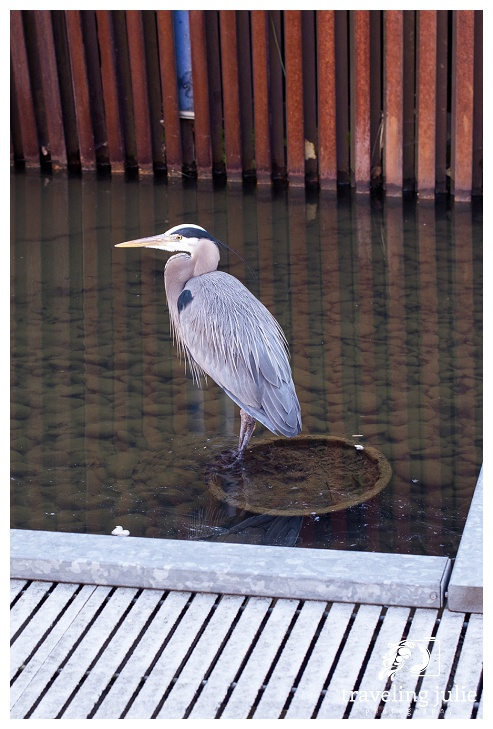 great heron at Tanner Springs Park